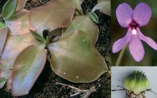Pinguicula macrophylla seeds (30 seeds per packet) harvested summer 2020
