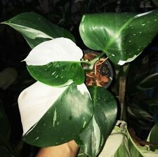 Philodendron White Knight 2 Tone Super White Variegated