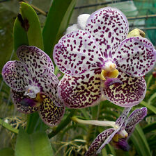 Vanda Kulwadee Fragrance Bursibhok Blue Spot .. Stock #278-2