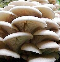 Seeds Oyster Mushroom Veshenka Mycelium Spawn Dried Spores Substrate Ukraine