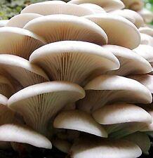 Seeds Oyster Mushroom Veshenka Mycelium Spawn Dried Spores Substrate Ukraine