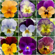 Viola Mini Plug Plants x 24 'Bel Viso Mix' Winter Pansies