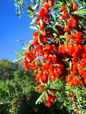 pianta di bacche di goji o Lycium barbarum v16 pianta vera da esterno