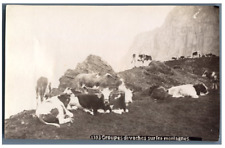 Groupes de vaches sur les montagnes  Vintage albumen print Tirage albuminé