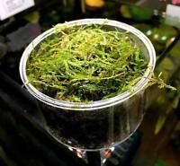Java Moss, Vesicularia Dubyana, Aquascape ADA Driftwood Live Aquatic Plants