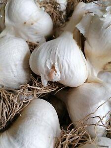 Elephant garlic seeds, corms, cloves  ( Elefantenknoblauch Zehe )
