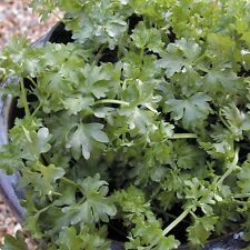 Parsley - Par-cel - 300 Seeds