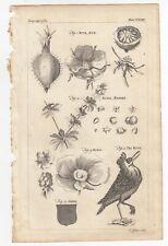 1764 THOMAS JEFFERYS Copper Engraving RUTE RUE , THE RUFF , RUBUS , RUBIA