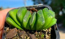 HAWORTHIA TRUNCATA LIME GREEN RARE 80mm pot Succulent cacti garden aon