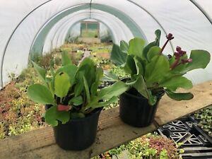 Bergenia ( Winter Glow) - Elephant Ears - X2 In 11cm Pots. Mature Plants.