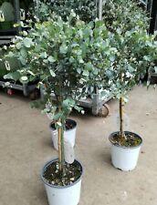 Eucalyptus gunnii - Eukalyptus Stamm