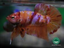"Giant Nemo KOI HMPK male betta #0687 / 4 mo / 2.3"" / very nice form"