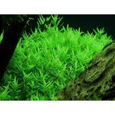 10 Stems Rotala Indica Green Rotundifolia Live Aquarium Plants