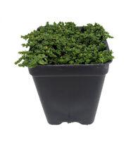 "Corsican Sedum - Stonecrop - 2.5"" Pot - Terrarium/Fairy Garden"