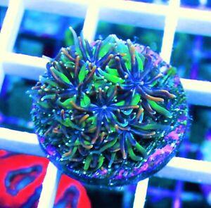 wysiwyg ECR Ultra hedge hog galaxea live coral