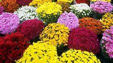 100 Seeds Chrysanthemum Mix Bonsai Plant Tree House Herb Garden Flower Pot Decor
