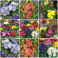 50 Mixed Primrose Primula Seeds Polyanthus Elatior Perennial Potted Flower Plant