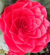 3 x  Camellia Collection SPECIAL OFFER 3 x 3.0  litre Plants.