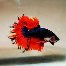 Live Betta Fish - Male - Fancy Multicolor Halfmoon (HFJUN34) (High-Grade)