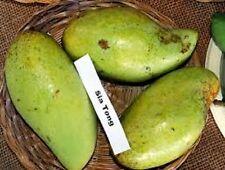 Sia Tong Mango - Grafted 7 gal pot. Fruiting Size!