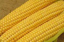 Trucker's Favorite Yellow Field Corn Garden Seed * Save $5* 1 lb ~ 2000 seeds!