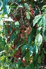 Coffee Bean Plant Seeds - BRAZILIAN SANTOS - High Quality Coffee - 25 Seeds