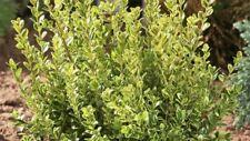 Pianta siepe di buxus bosso sempervirens GOLD vs 15 siepe piante giardino aiuola
