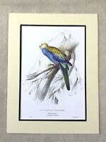 Antique Parrot Print Pale Headed Parakeet Blue Cheeked Rosella Exotic Birds