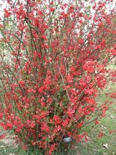 """Chaenomeles""""Spitfire"""" Choose 3, 6 or 10 Plants! Flowering Quince Shrubs!"""