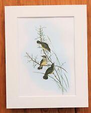 AUSTRALIAN Scrub Wren-montato VINTAGE JOHN GOULD Bird Stampa 1960 LIBRO Piastra