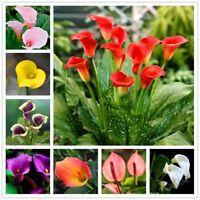 100 Seed Calla Lily Lilies Zantedeschia aethiopica Flower Rare Beautiful Plants
