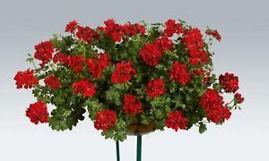 6 Trailing Ivy Leaf Geranium Ruby Red  Basket Patio Jumbo  Plug Plants