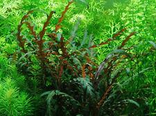 Hygrophila pinnatifida - Live Aquarium/Fish Tank Plant