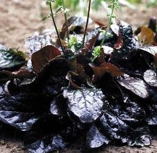 Salvia lyrata Purple Knockout lyre-leaf sage pint plant FREE SHIPPING