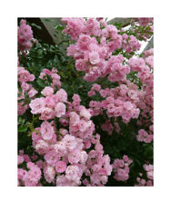 Climbing Rambling Rose Scented Roses Bare Root Plant  'Albertine' Pink