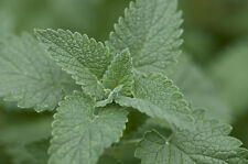 CATNIP LEAVES AND FLOWERS WILDCRAFTED 1 OZ c/s