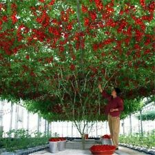 DIY Garden  50 Tomato Tree Seeds Container/Ground Plant Easy to Grow Vegetable