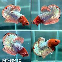 (MT-89412) White Fancy Copper Star Tail - Live Male Plakat HM Betta Fish Grade A