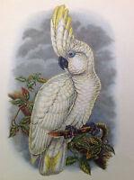Antique Old Vintage GOULD Lithograph Art Print BLUE EYED COCKATOO Parrot Bird