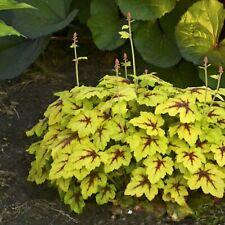 "Heucherella Catching Fire Coral Bells Full Grown Well Rooted 5.25"" Pot Perennial"