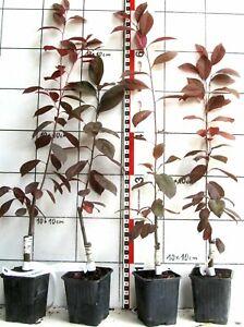 """Prunus cerasif. """"Hollywood"""" (Trailblazer)  -   Blutpflaume mit essbaren Früchten"""