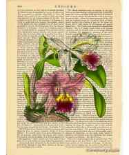Ruby Lipped Cattleya Orchid Art Print on Antique Book Page Vintage Illust Flower