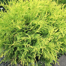 Thuja occidentalis 'Golden Globe' White Cedar Evergreen Garden Conifer | 9cm Pot