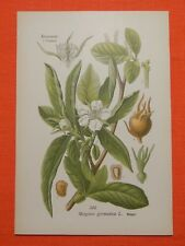 Mispel (Mespilus germanica)   THOME Lithographie 1890