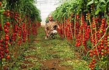 Tomato Tree - TSIFOMANDRA - 30 Heirloom Vegetable Seeds - Non Gmo