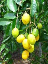 5 fresh  SEEDS*SPONDIAS (SPONDIS) MOMBIN*HOG PLUM*JAVA* MAKOK*free shipping*