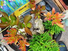 Assorted Succulents Crassulas 5 Varieties 2 of each  Free Post