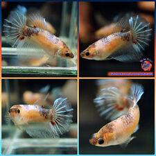 Live Betta Fish Female Blue Black Galaxy Halfmoon HM #1006