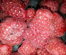 100 Samen Himbeere....Sommer... leckere Frucht....Süß und fest....