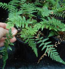 Dicksonia fibrosa - NZ Wheki-Ponga Tree Fern - Awesome!